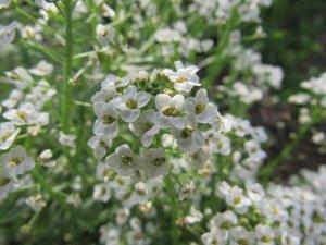 White Alyssum plant.