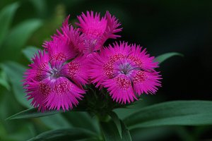 Red and purple Dianthus plant with green long slender leaves.