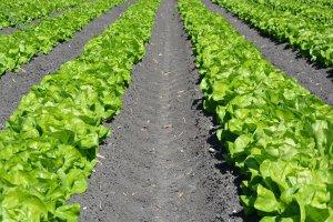 Two visable rows of leaf lettuce growing. Dirt in between rows of leaf lettuce.
