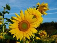 Sunflowers near Pilot Mountain, NC