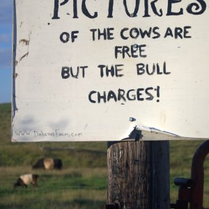 The bull charges