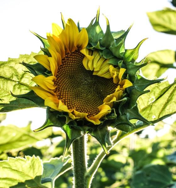 sunflower-opening
