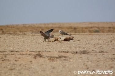 Dakhla Rovers: Lenner Falcon, Falco biarmicus, #DakhlaNature @iNaturalist