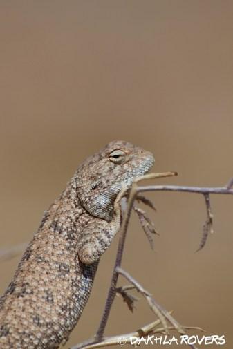 Dakhla Rovers: Desert Agama, Trapelus bohemei, #DakhlaNature @iNaturalist