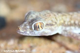 Dakhla Rovers: Anderson's Short-fingered Gecko, Stenodactylus petrii, #DakhlaNature @iNaturalist