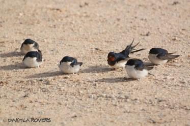 #DakhlaRovers #CommonHouseMartin #BarnSwallow