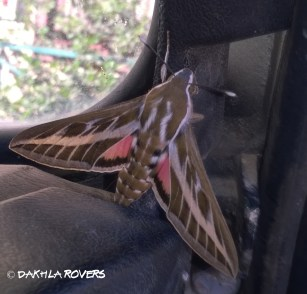Dakhla Rovers: Striped Hawk-Moth, Hyles livornica, #Dakhla Nature @iNaturalist