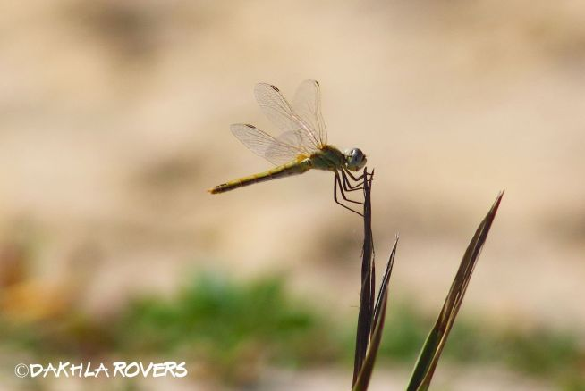 Dakhla Rovers: Red-vined Darter, Sympetrum fonscolombii, #DakhlaNature @iNaturalist