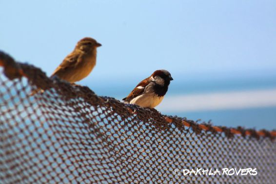 Dakhla Rovers: House Sparrow, Passer domesticus, #DakhlaNature @iNaturalist
