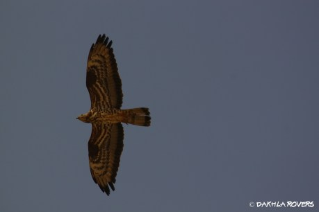 #DakhlaRovers #EuropeanHoneyBuzzard
