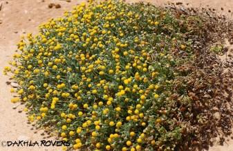 Dakhla Rovers: Santolina africana, #DakhlaNature @iNaturalist