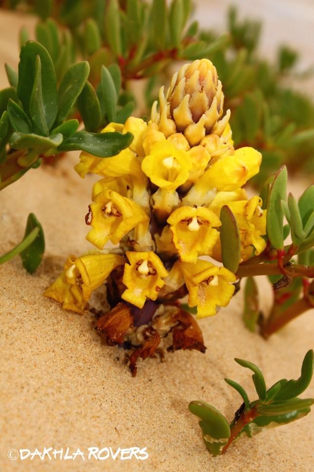 Dakhla Rovers: Desert hyacinth, Cistanche sp., #DakhlaNature @iNaturalist