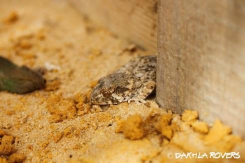 Dakhla Rovers: Helmethead gecko, Tarentola chazaliae, #DakhlaNature @iNaturalist,