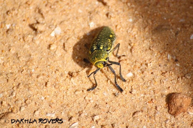 Dakhla Rovers: Desert beetle, genus Julodis, #DakhlaNature @iNaturalist