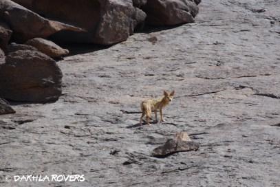 Dakhla Rovers: Golden Jackal, Canis aureus, #DakhlaNature @iNaturalist