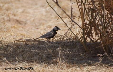 Dakhla Rovers: Black-crowned Sparrow-Lark, Eremopterix nigriceps, #DakhlaNature @iNaturalist