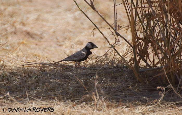 Dakhla Rovers: Black-crowned Sparrow-Lark, Eremopterix nigriceps, #DakhlaNature @iNaturalist