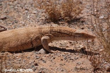 Dakhla Rovers: Desert Monitor, Varanus griseus, #DakhlaNature @iNaturalist