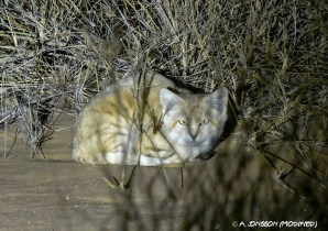 Dakhla Rovers, Andreas Jonsson, Sand Cat