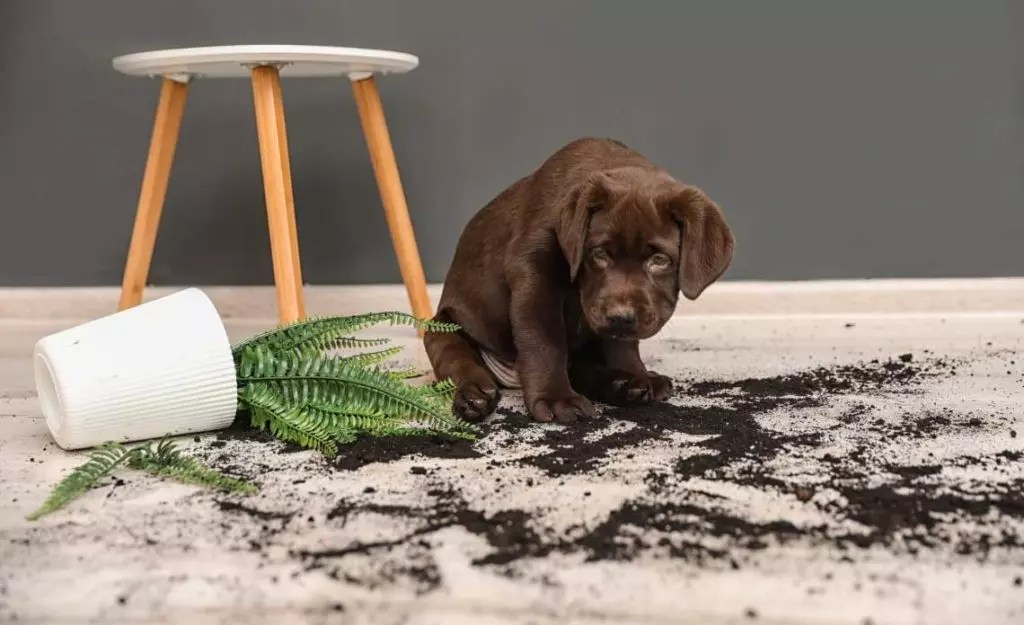 A puppy gets into mischief when left out of a kennel.