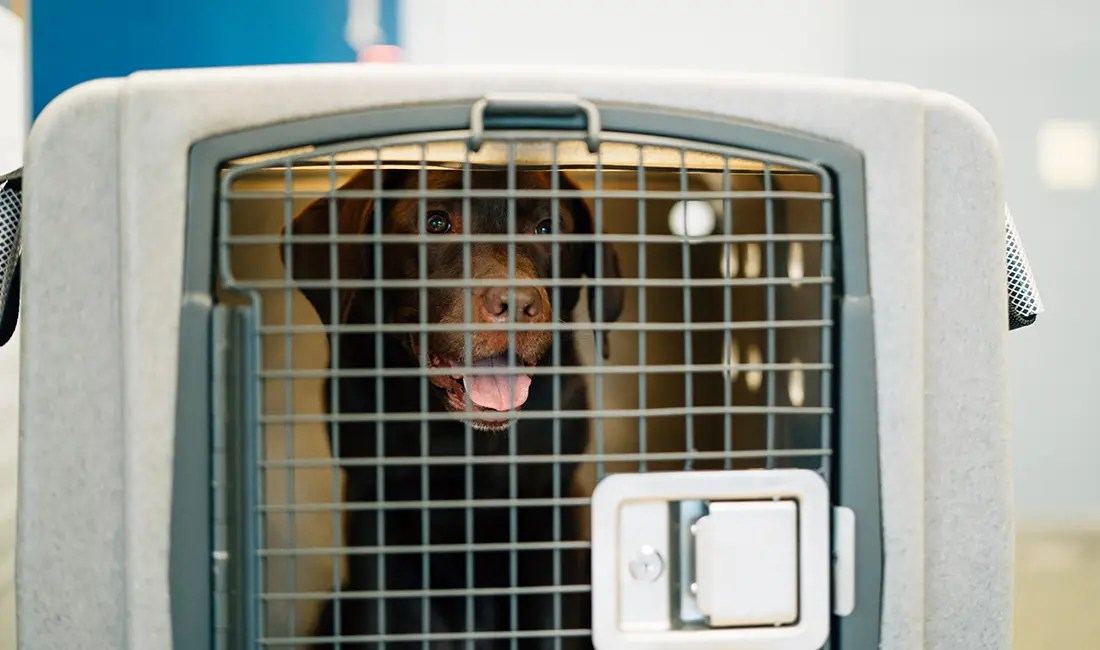 A dog sits in its travel kennel.