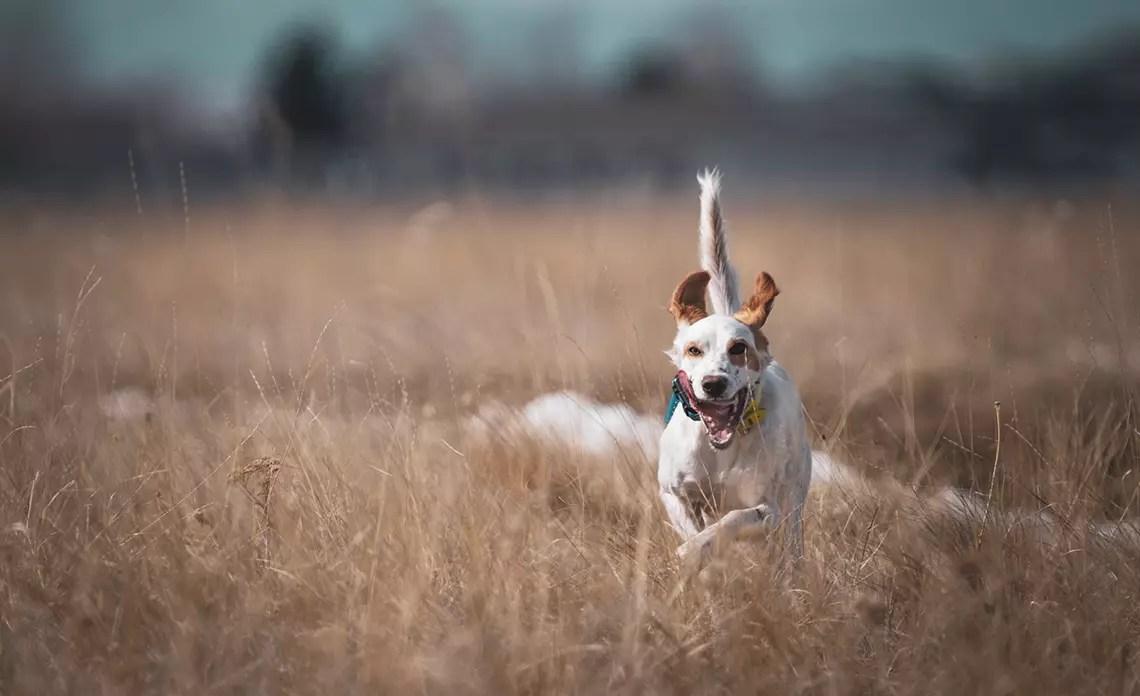 A hunting dog runs through a grass field.