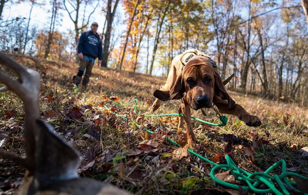 A bloodhound finds a dead deer.