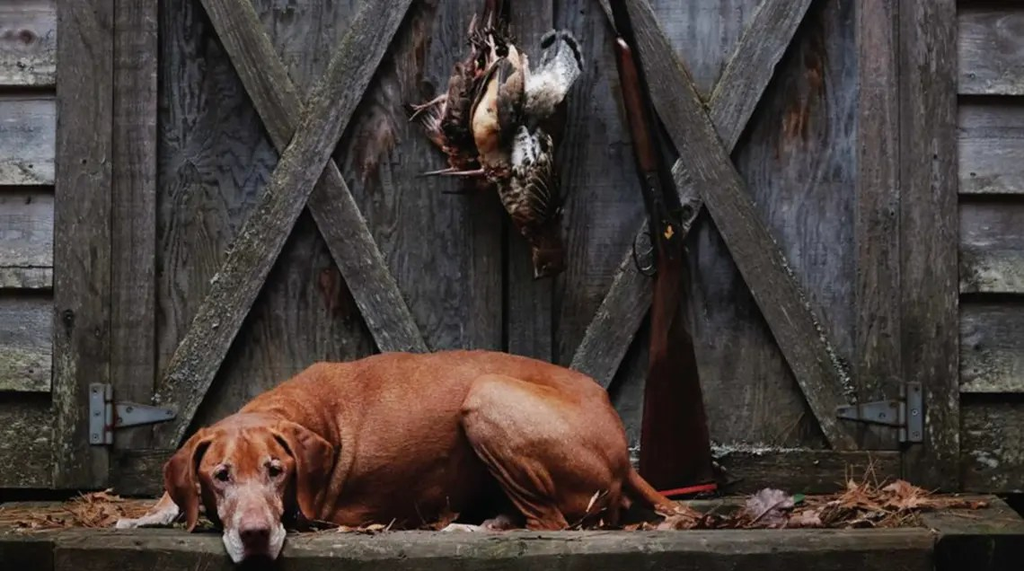 Hunter the Vizsla rests under a grouse and woodcock he pointed.