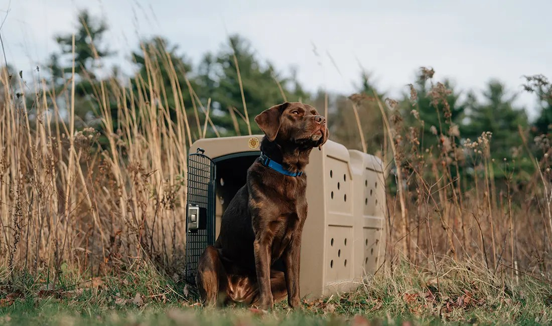 A labrador retriever sits in front of a large frame G3 kennel.