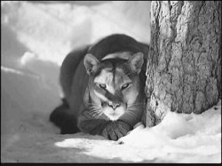 Mountain lion (photo from GF&P)
