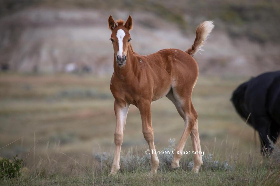 Here is an updated look at Ardena out of Mare Pretty Girl. She is now 6 weeks old and full of personality.