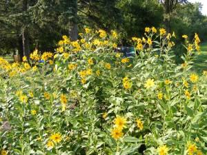 sunchokeplant