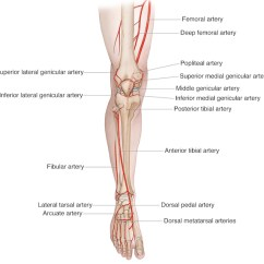 Medial Lower Leg Muscles Diagram Electrical Wiring Symbols Fuse List Of Synonyms And Antonyms The Word Anatomy