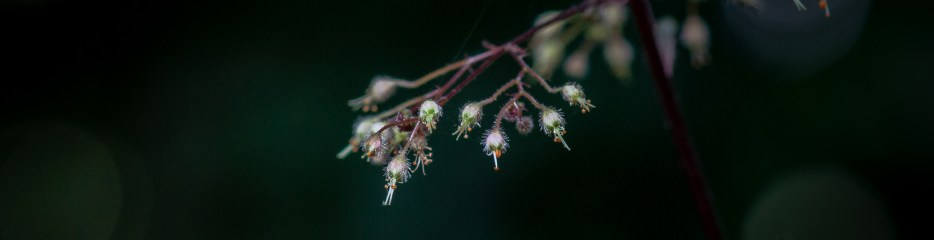 Wordless Wednesday: Coral Bells