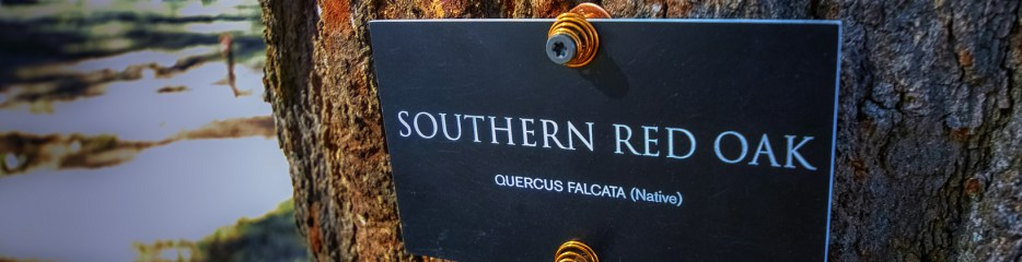 Wordless Wednesday: Southern Red Oak