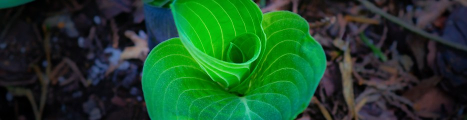 Hosta Shapes and Colors (Set 3 of 4)