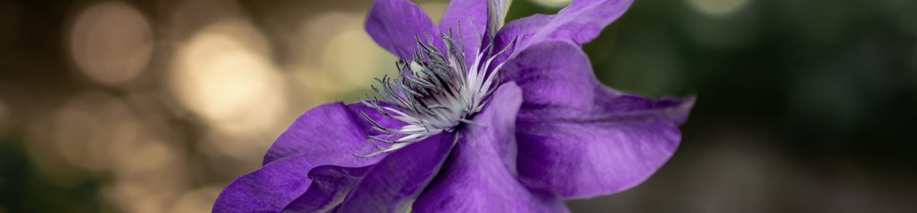 Clematis Variations: Gallery 2 of 2