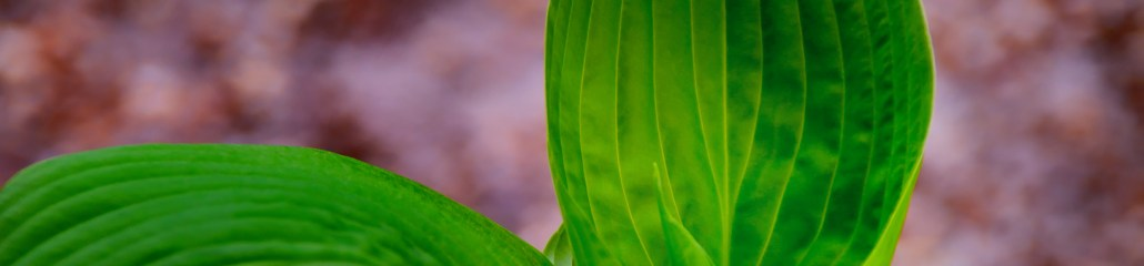 Hosta Shapes and Colors (Set 4 of 4)