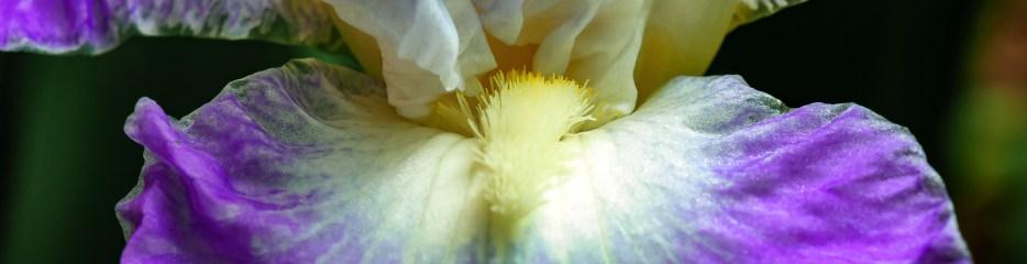 Clarence, The Bearded Iris