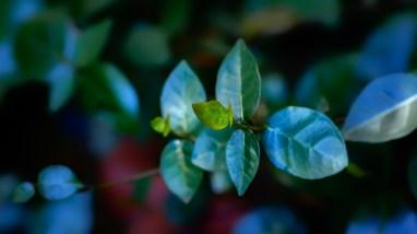 Asiatic Jasmine