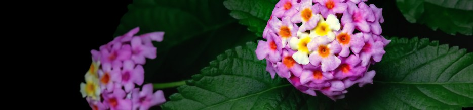 Late Summer Color: Mary Ann Lantana (Gallery 2 of 3)