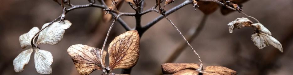 Walk, Work, Discover: Hydrangeas in Winter