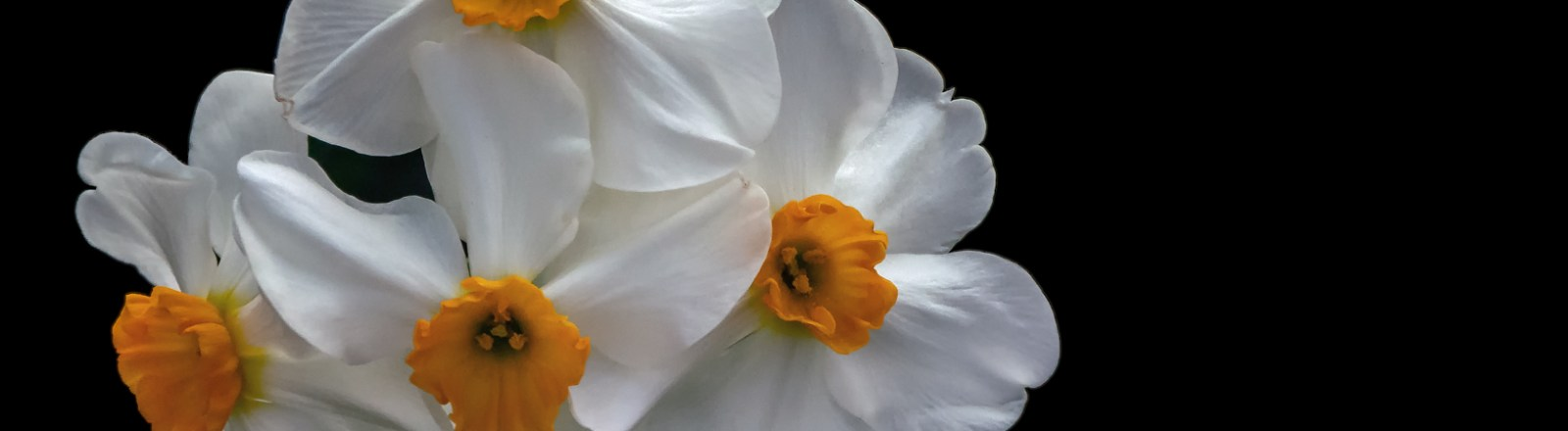 Spring 2020: March is for Daffodils (4 of 4)