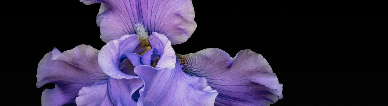 A Profusion of Irises: Iris No. 1