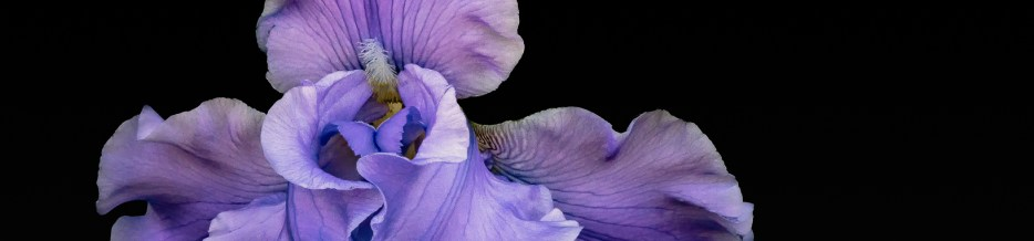 A Profusion of Irises: Iris No. 1