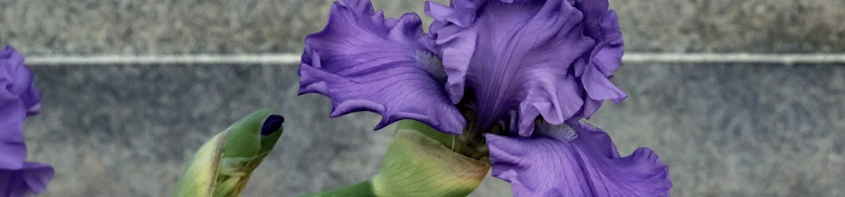 A Profusion of Irises: June, an Ending