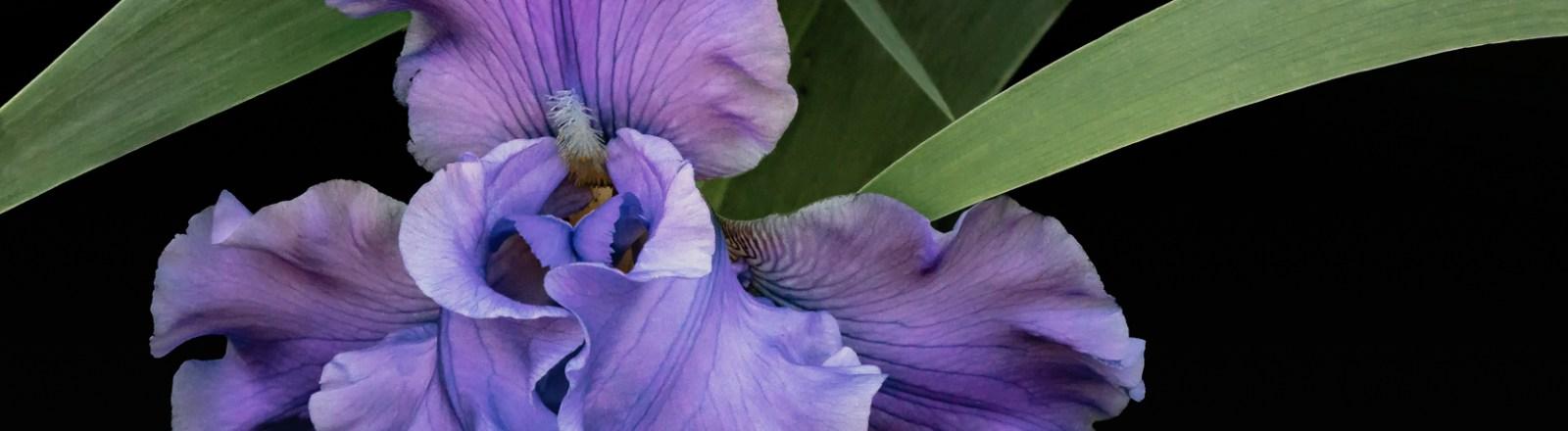 A Profusion of Irises: Friday Fleur-de-lis