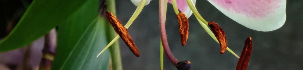 Summer 2020: Lily Variations (1 of 10)