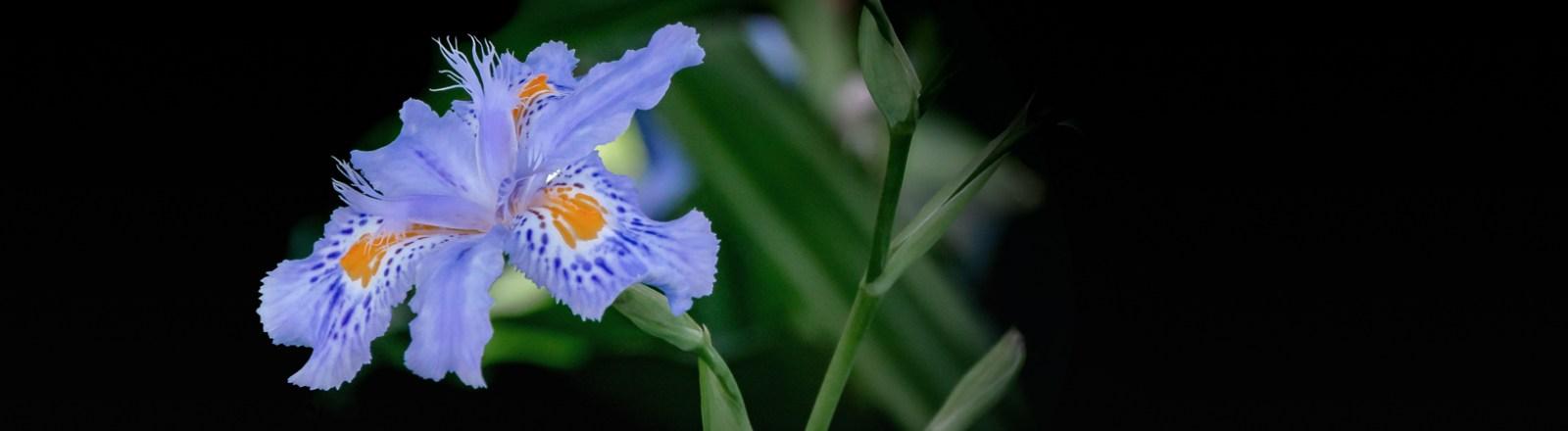 When an Iris is a Butterfly (Flower)
