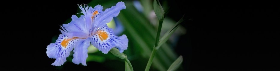 When an Iris is a Butterfly (Flower)